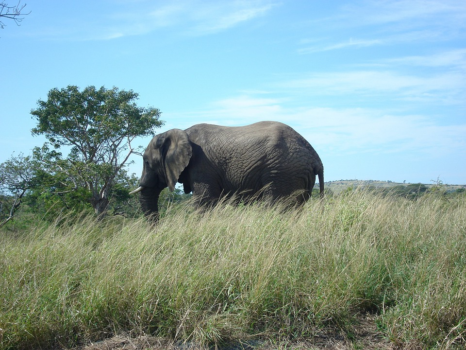 Elephant, South, Africa, Scenery, Animal, Safari