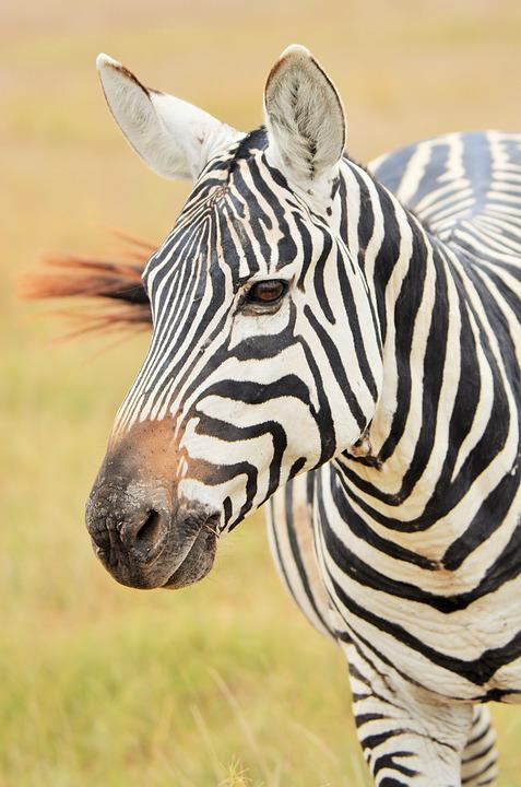 Zebra, Africa, Safari, Savannah, Stripes