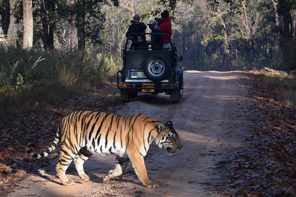 Tiger, Safari, India