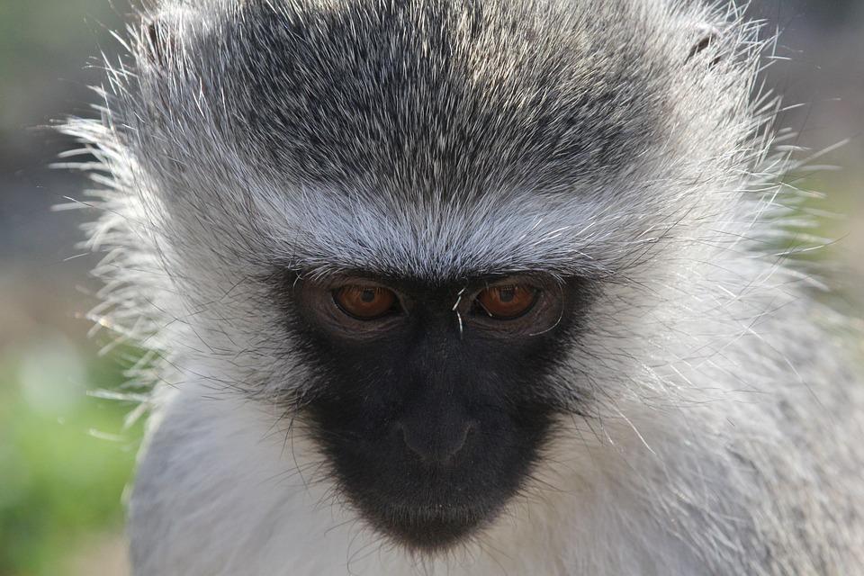 Blue, Monkey, Close Up, Wildlife, South, Africa, Safari