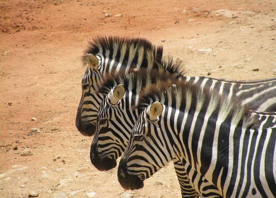 Zebras, Safari, Africa, Animals, Stripes, Three