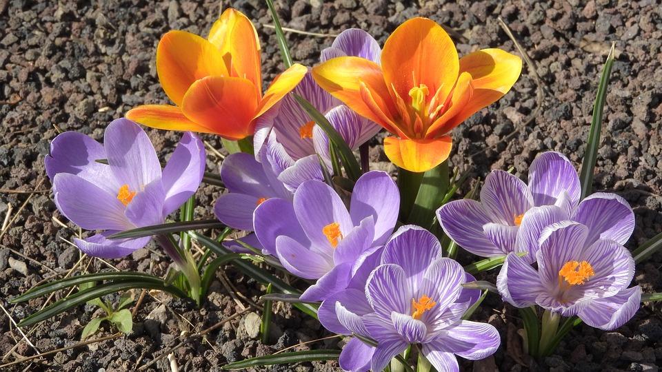 Saffron, Crocus, Tulip, Orange Tulip, Flowering šafrány