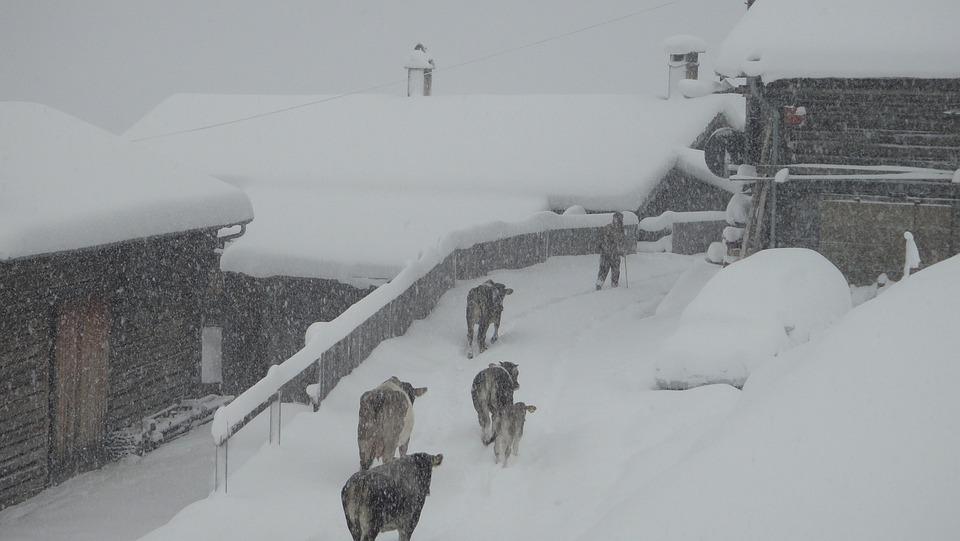Winter, Winter Blast, Safien Valley, Switzerland, Cows