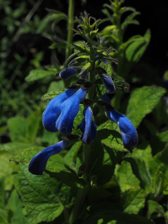 Sage, Flowers, Blue, Salvia Coerulea, Lamiaceae, Plant