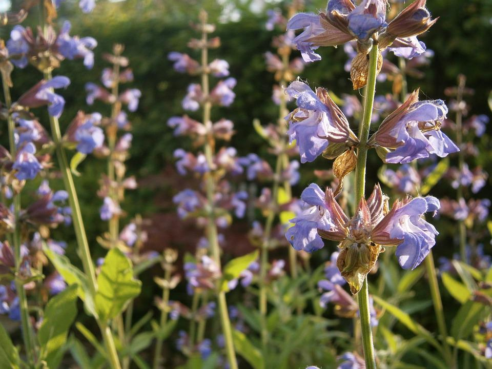 Sage, Sage Plant, Garden Plant, Garden, Plant, Nature