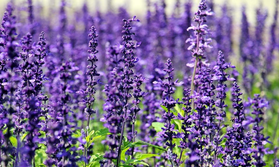 Sage, Flowers, Purple Flowers, Blue Flowers, Nature