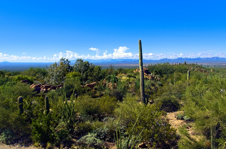 Saguaro View, Arizona-sonora Desert Museum, Arizona