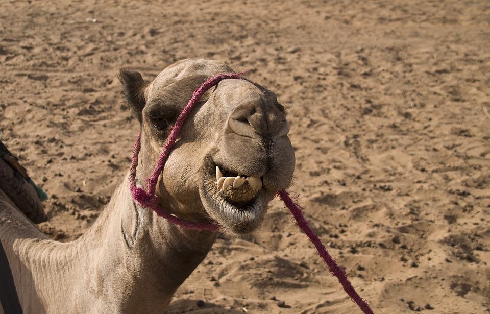 Dromedary, Camel, Desert, Sahara, Morocco, Africa