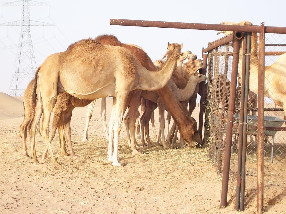 Camel, Desert, Dromedary, Sahara, Tuareg, Golden Sand