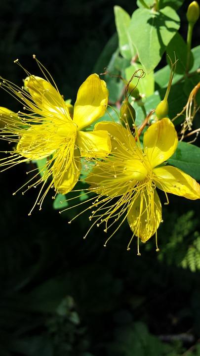 Saint John's Wort Plant, Flowers, Summer, Yellow