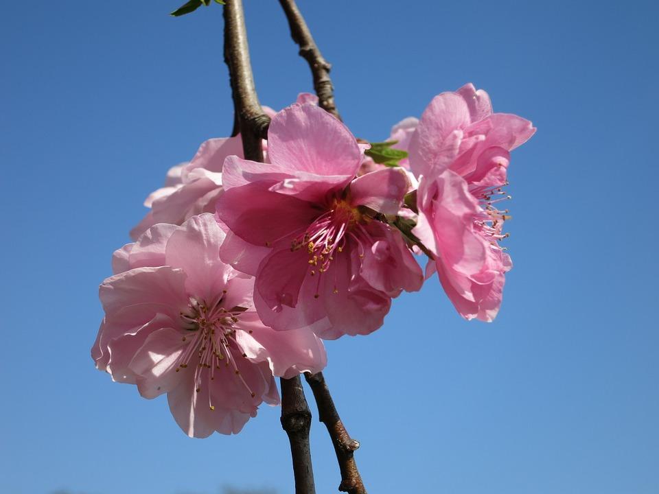 Cherry Blossom, Blossom, Sakura, Cherry, Flower