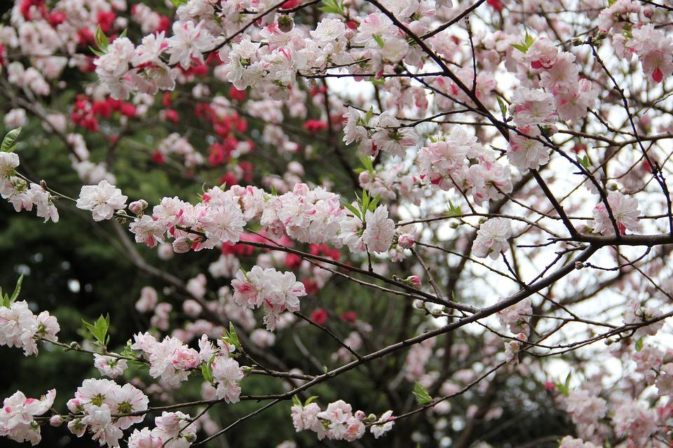 Sakura, Spring, Tokyo, Cherry, Blossom, Flower, Garden