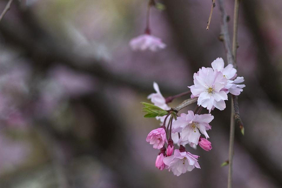 Cherry Blossom, Sakura, Japan, Japanese, Asian
