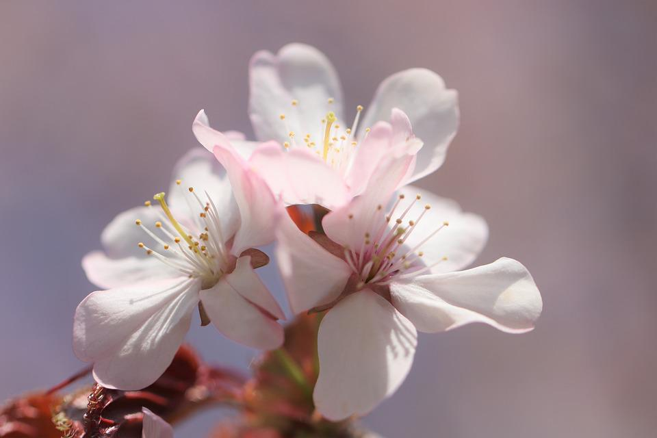 Sakura, Flowers, Spring, Bloom, Tree, Nature, Japanese