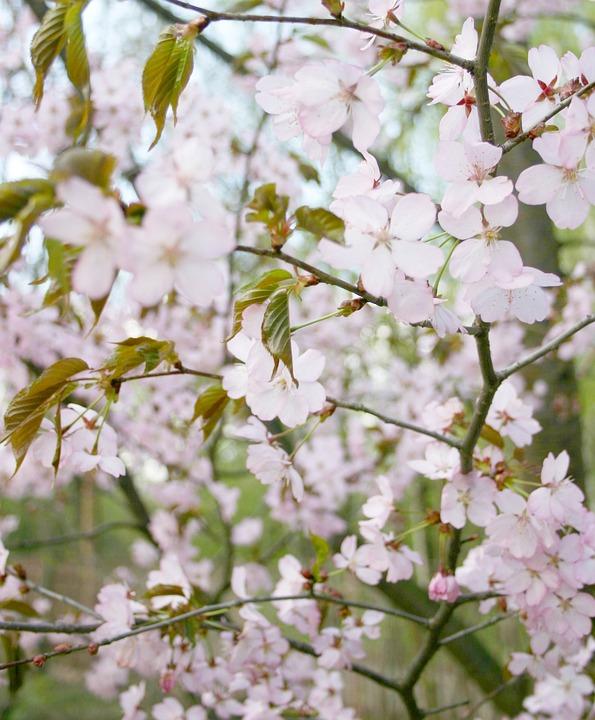 Sakura, Tree, Bloom, Pink
