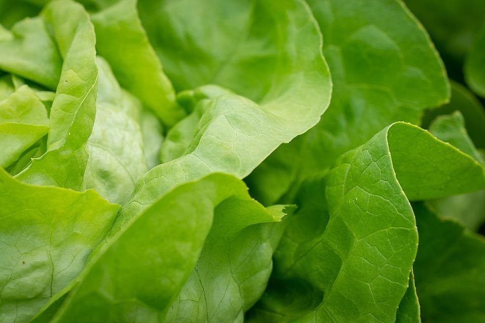 Salad, Lettuce Leaves, Lettuce, Head Of Lettuce, Green