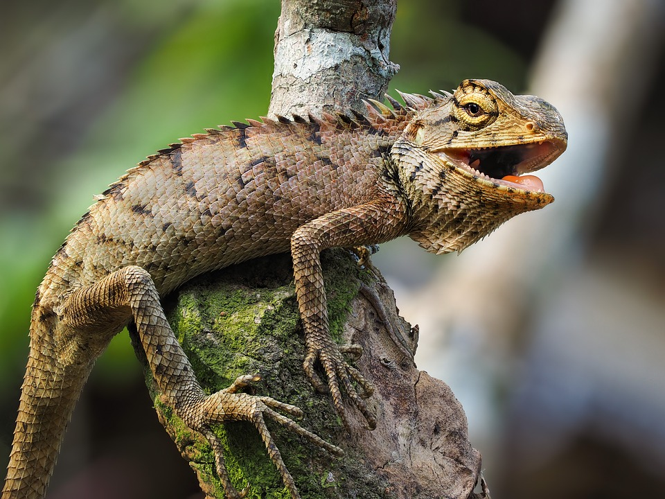 Wildlife, Iguana, Salamanders Fence, Hue