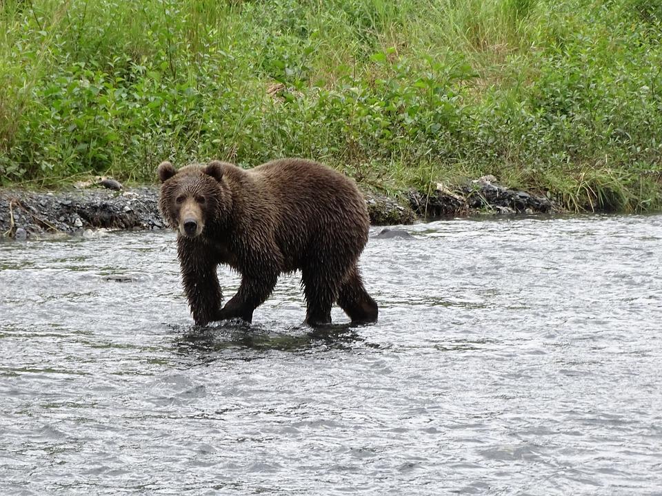 Brown Bear Giant, Kodiak, Hunting, Salmon, Animal, Bear
