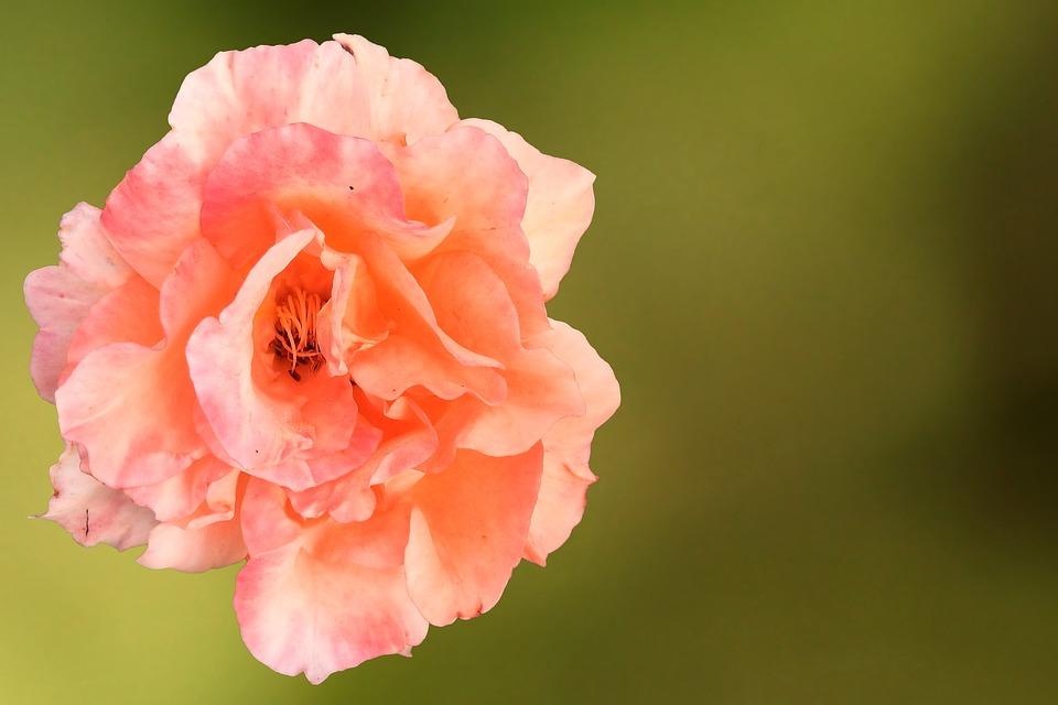 Rose, Blossom, Bloom, Salmon, Orange Rose, Rose Blooms
