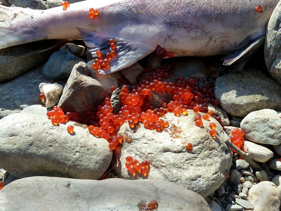 Salmon, Spawning, Fish Eggs, Fish, Dead, Spawn, Sockey