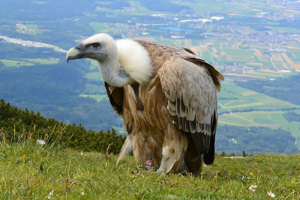 Vulture, Aas Face, Salzburg, Austria, Unterberg, Bird