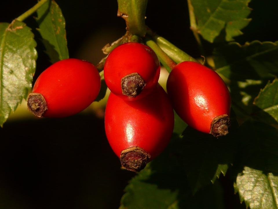 Rose Hip, Fruit, Sammelfrucht, Red, Dog Rose