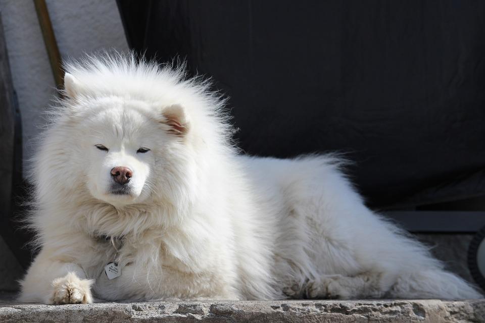 Dog, Large, White, Iceland, Samoyed, Canine, Animal