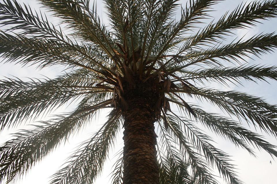 Palm Tree, San Felipe, Crevillent