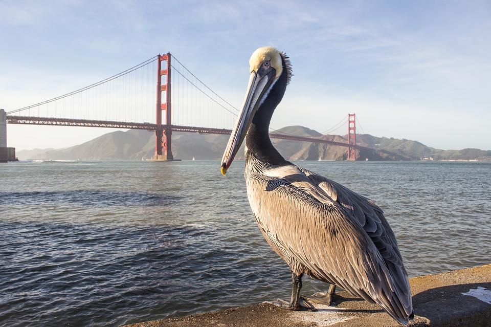 Pelican, Golden Gate, Bridge, Sea, San Francisco