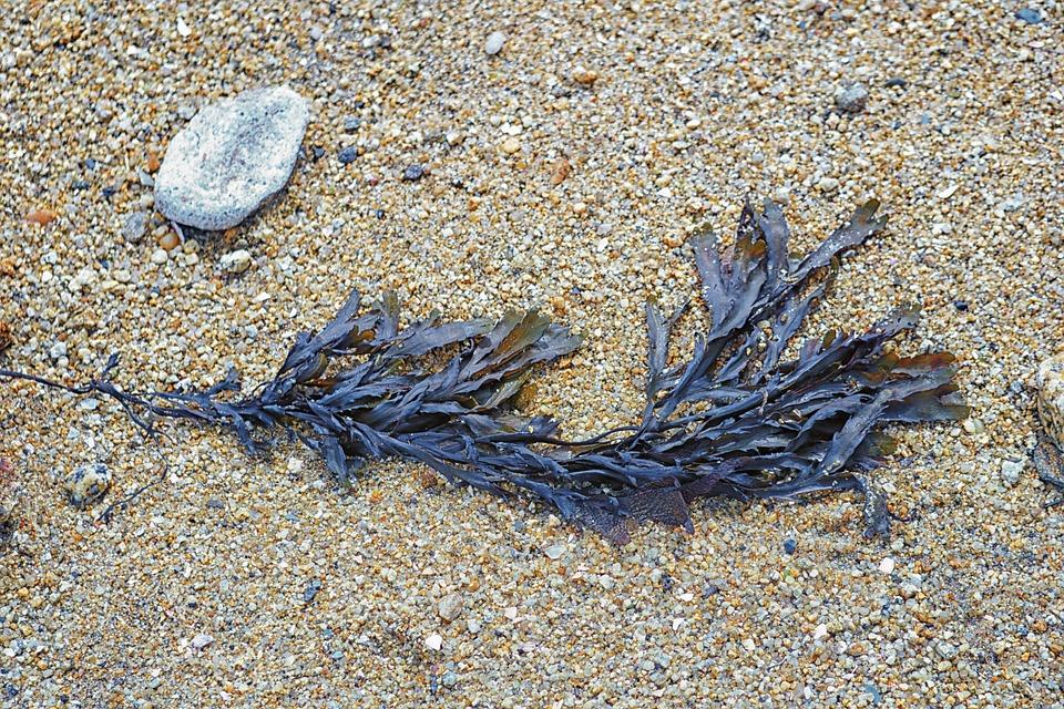 Algae, Beach, Sand, Sea, Nature, Seaside, Maritime
