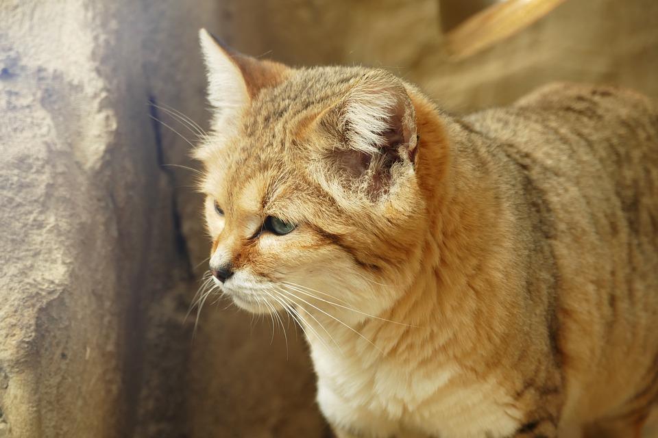 Sand Cat, Cats, Sand, Animal, Cute, Mammal