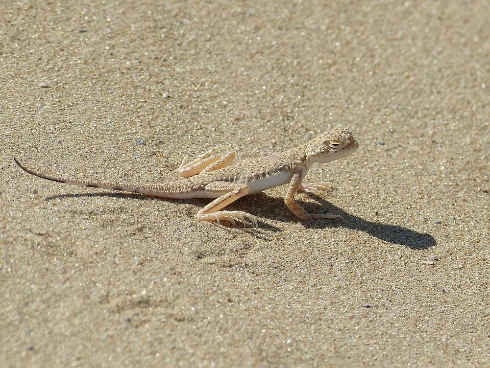 Animal, Lizard, Disguised, Sand, Reptile