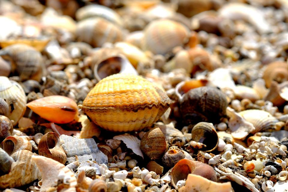Shell, Cockle, Beach, Sand, Nature, Coast, Mussels