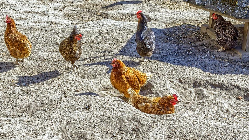 Chickens, Chicken Run, Animals, Sand, Poultry, Hen