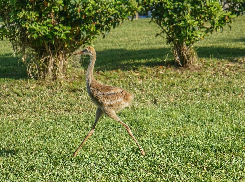 Sand Hill Cranes, Baby, Nature, Outdoors, Beak, Avian
