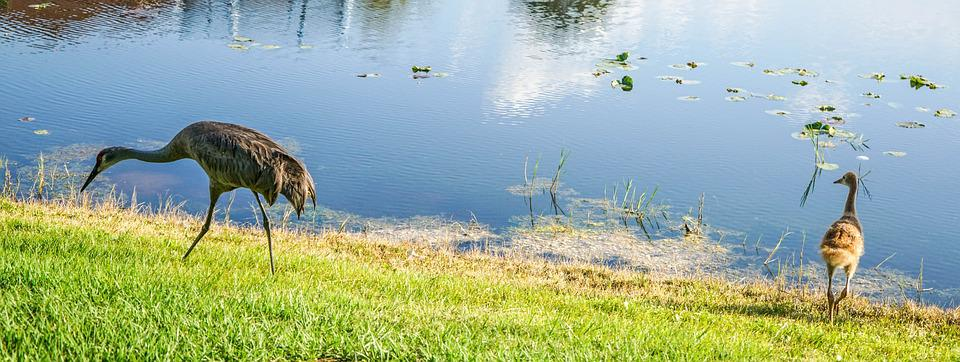 Sand Hill Cranes, Baby, Parents, Nature, Water