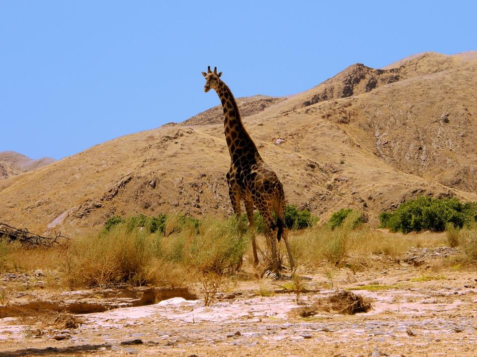 Giraffe, Hills, Foothills, Heat, Sun, Namibia, Sand