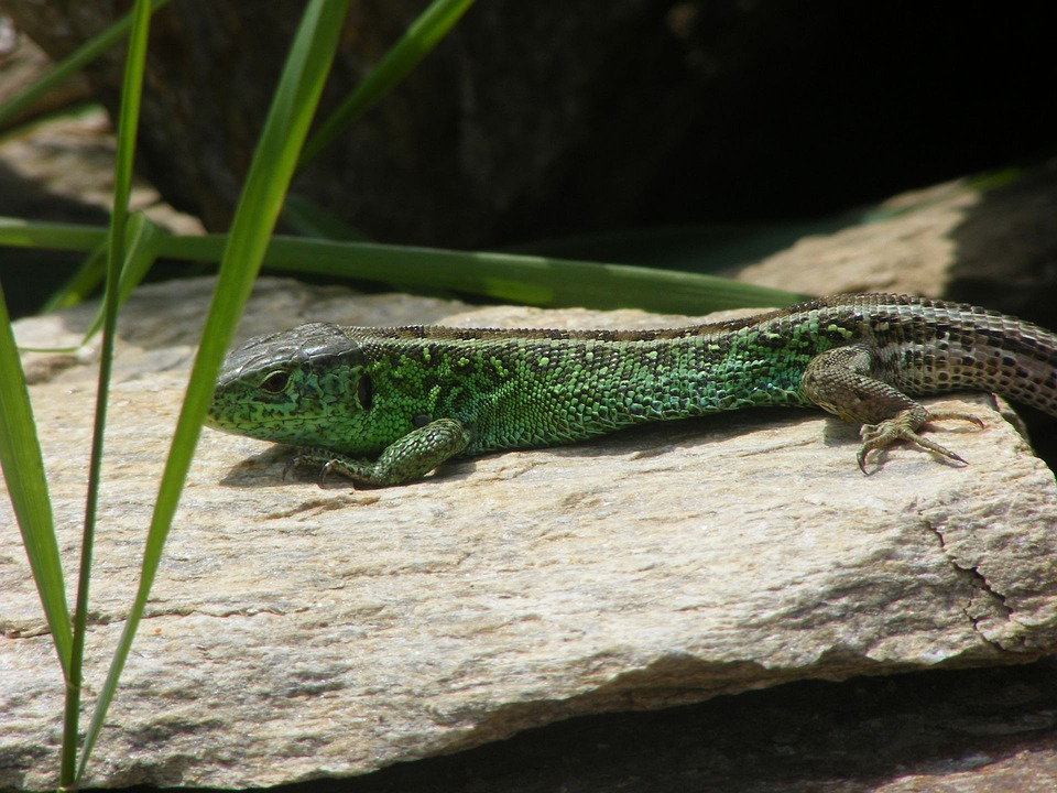 Lizard, Sand Lizard, Animals, Nature, Green, Stone