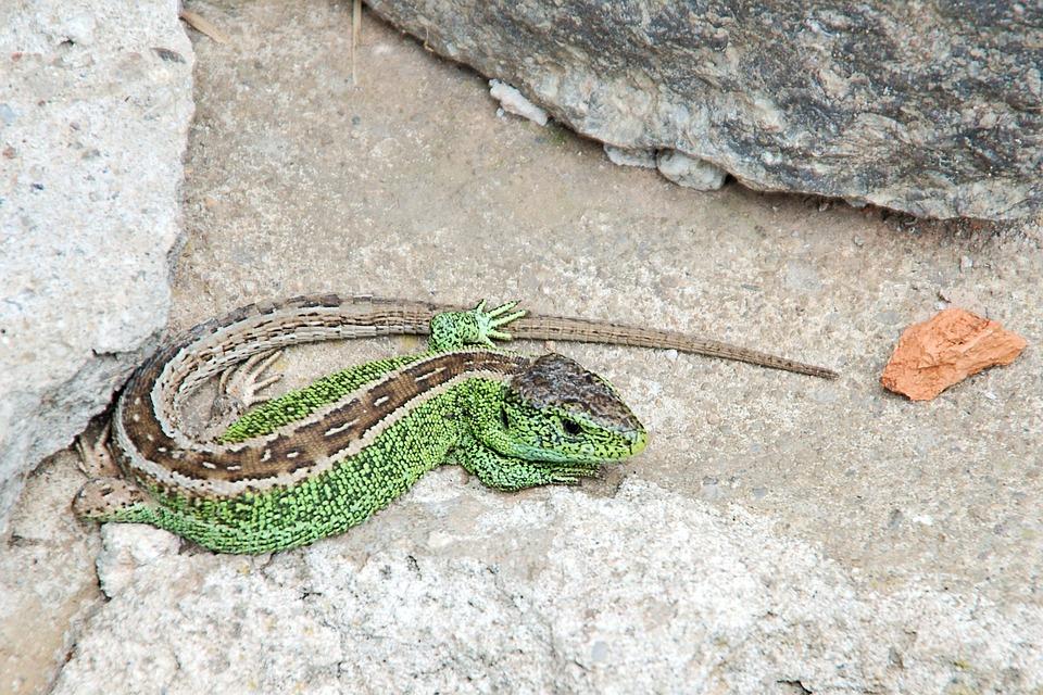 Sand Lizard, Lizard, Male, Males, Stone, Reptile