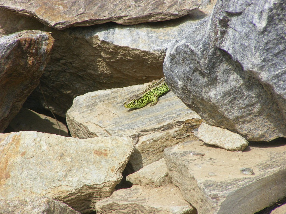 Lizard, Animals, Nature, Sand Lizard, Stone, Animal