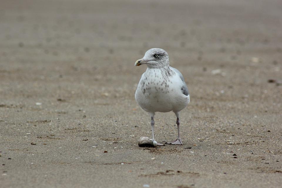 Seagull, Sand, Beach, Gull, Ornithology, Fauna, Ocean