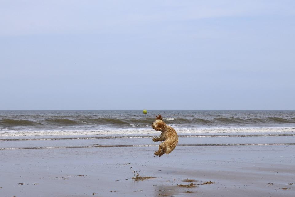 Beach, Dog, Ball, Cockapoo, Puppy, Summer, Sand, Pet