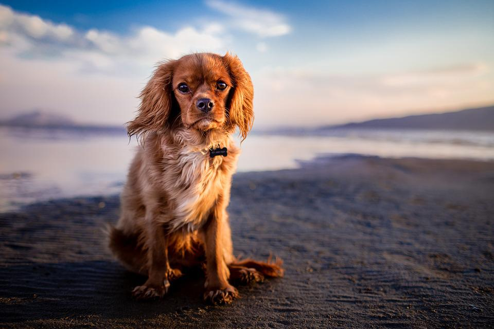 Dog, Pet, Beach, Shore, Seashore, Sand, Sandy Beach