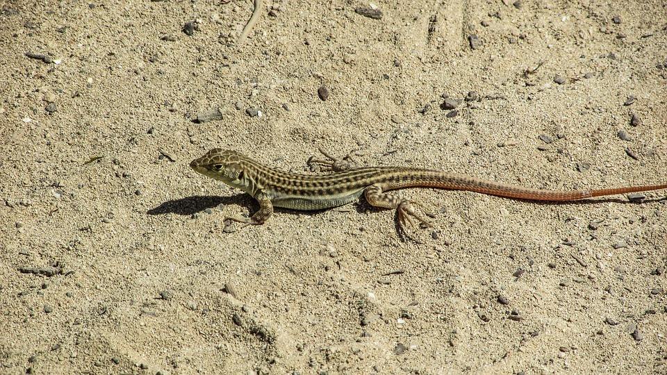 Lizard, Acanthodactylus Schreiberi, Reptile, Sand