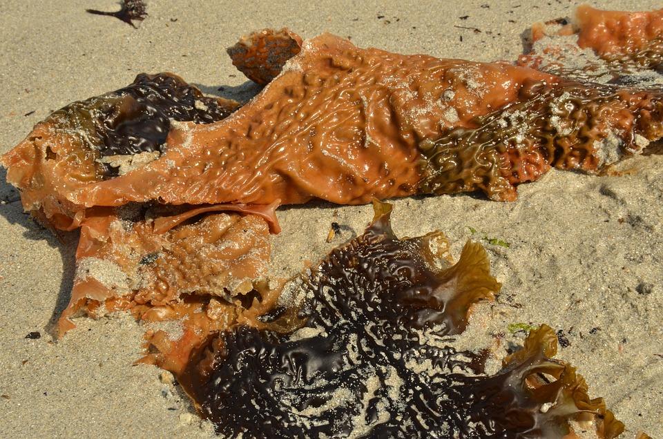 Whose, Seaweed, Plant, Water Plant, Beach, Sand, Sea