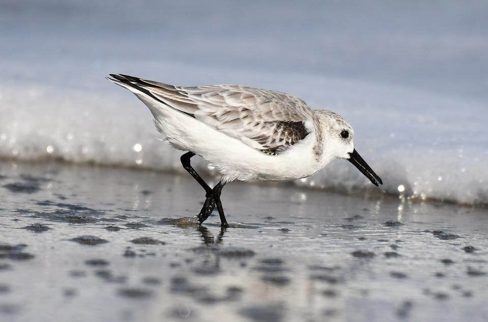Sanderling, Winter Dress, Migratory Bird, Sea, Atlantic