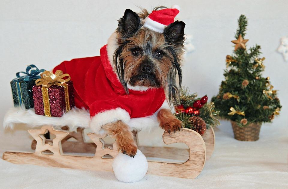 Yorkshire Terrier, Dog, Christmas, Sled, Santa Claus