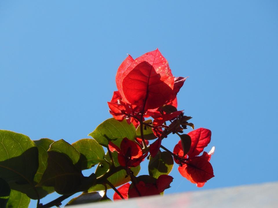 Vine, Plant, Red Flower, Santa Rita