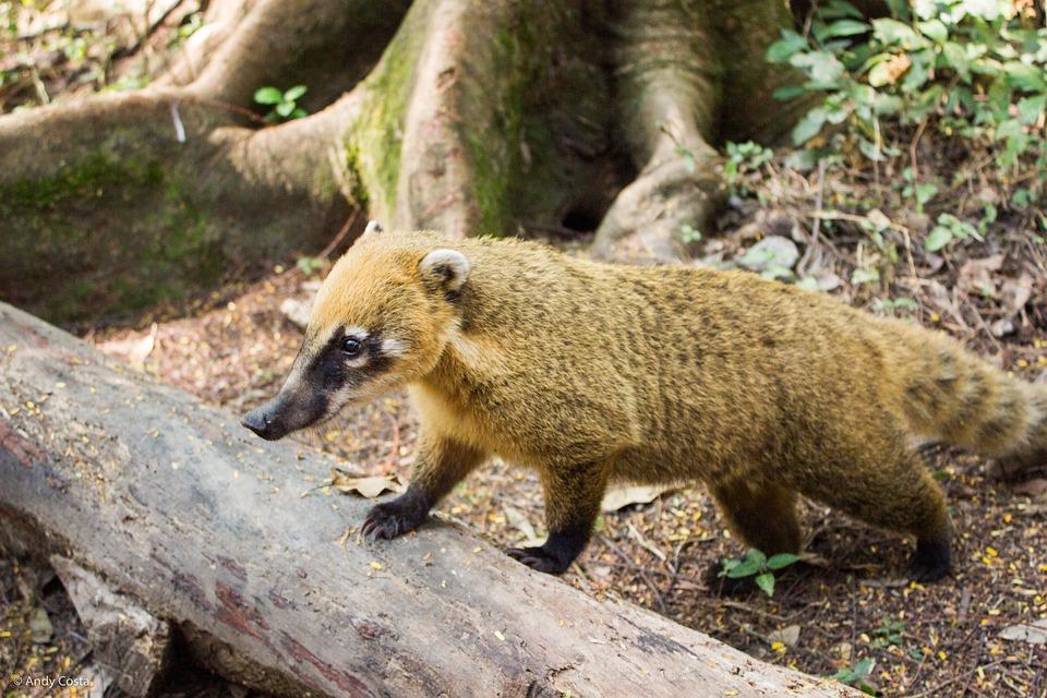 Coati, Ecological Park Of Tietê, São Paulo, Nature
