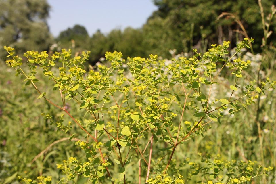 Cyparissias, Cypress, Euphorbia, Milk, Sap, Spurge